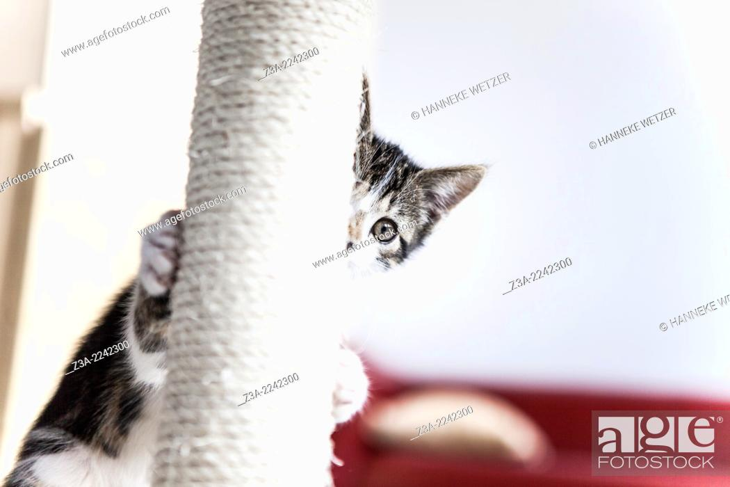 Imagen: Cute kitten playing hide and seek with a scratching post.