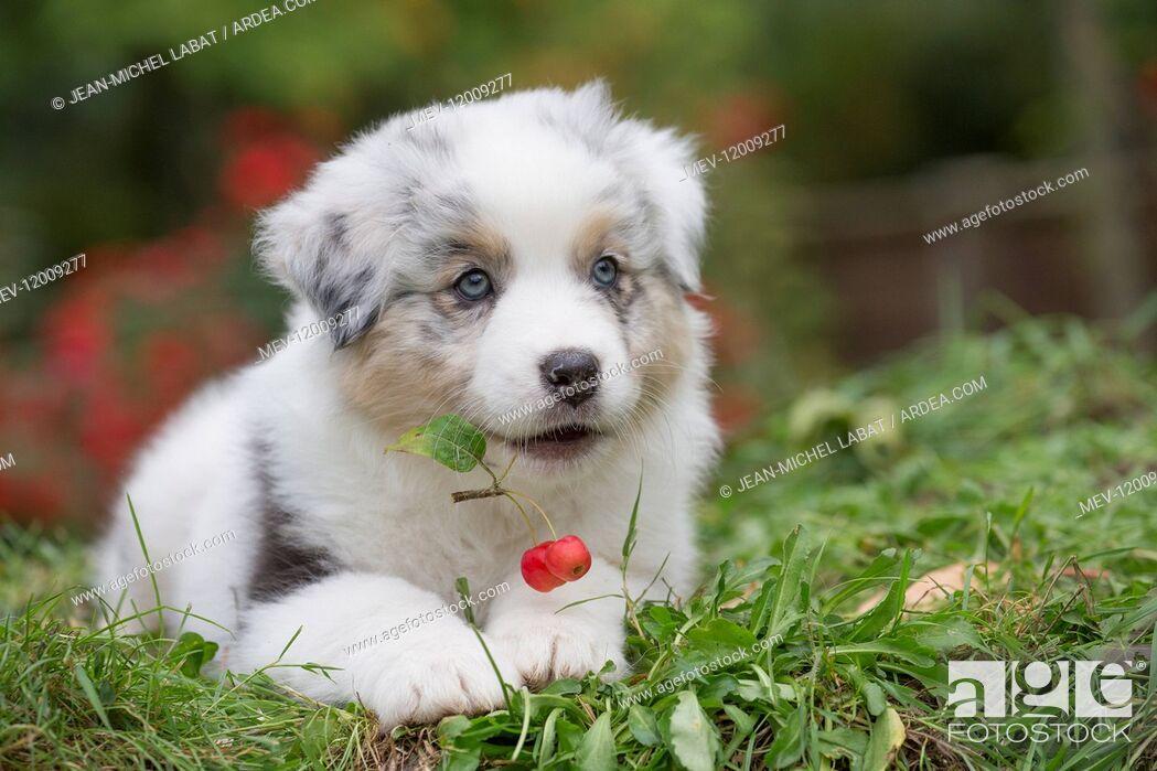 Stock Photo: Australian Shepherd Dog puppy outdoors Australian Shepherd Dog puppy outdoors.