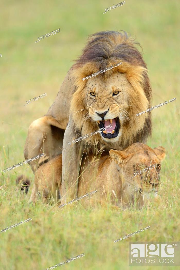 Stock Photo: Lion couple (Panthera leo), mating. Masai Mara preserve. Kenya.