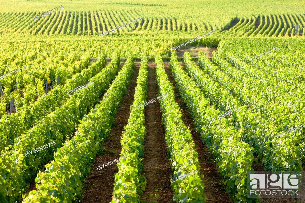 Stock Photo: vineyards near Gevrey-Chambertin, Cote de Nuits, Burgundy, France.