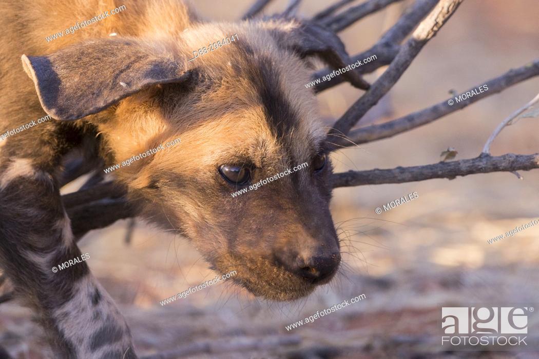 Stock Photo: Africa, Southern Africa, South African Republic, Kalahari Desert, African wild dog or African hunting dog or African painted dog (Lycaon pictus), young.