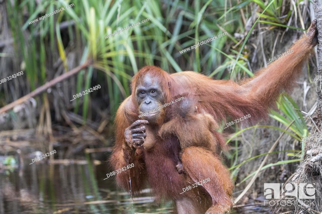 Imagen: Asia, Indonesia, Borneo, Tanjung Puting National Park, Bornean orangutan (Pongo pygmaeus pygmaeus), Adult female with a baby near by the water of Sekonyer river.