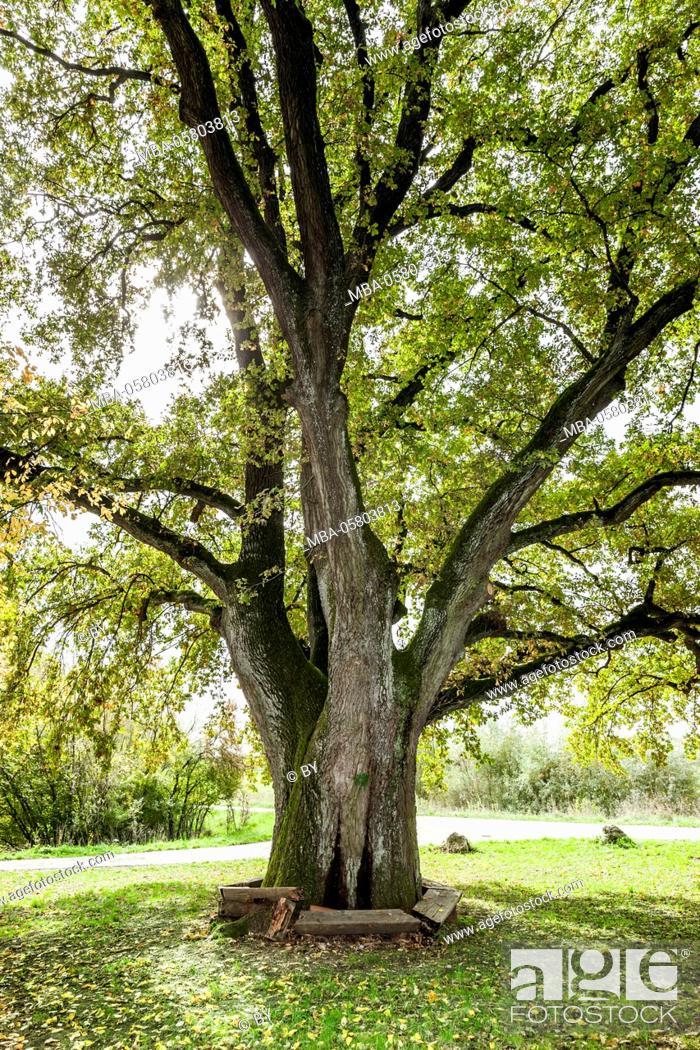 Stock Photo: Ancient oak.