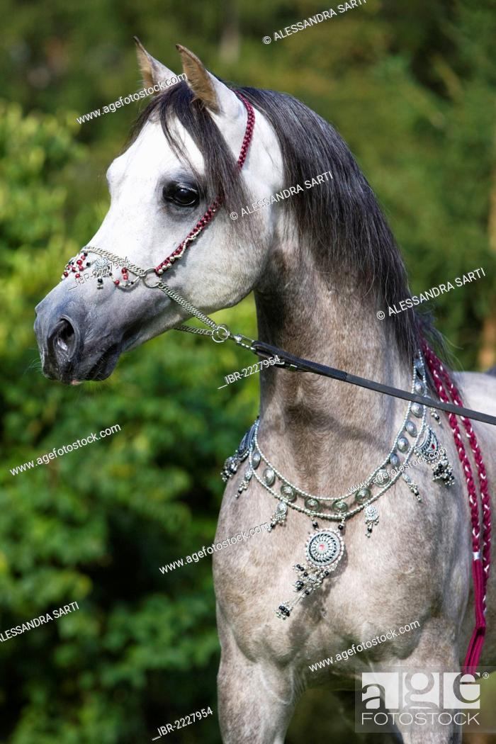 Arabian Stallion Dapple Grey Portrait Wearing A Show Halter And Jewellery North Tyrol Austria Stock Photo Picture And Rights Managed Image Pic Ibr 2227954 Agefotostock