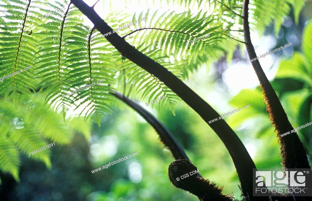 Stock Photo: Dicksonia antartica, Fern - Tree fern.