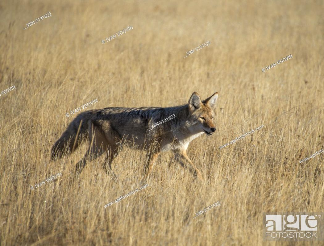 Stock Photo: Gray wolf, Canis lupus, Yellowstone National Park, USA.