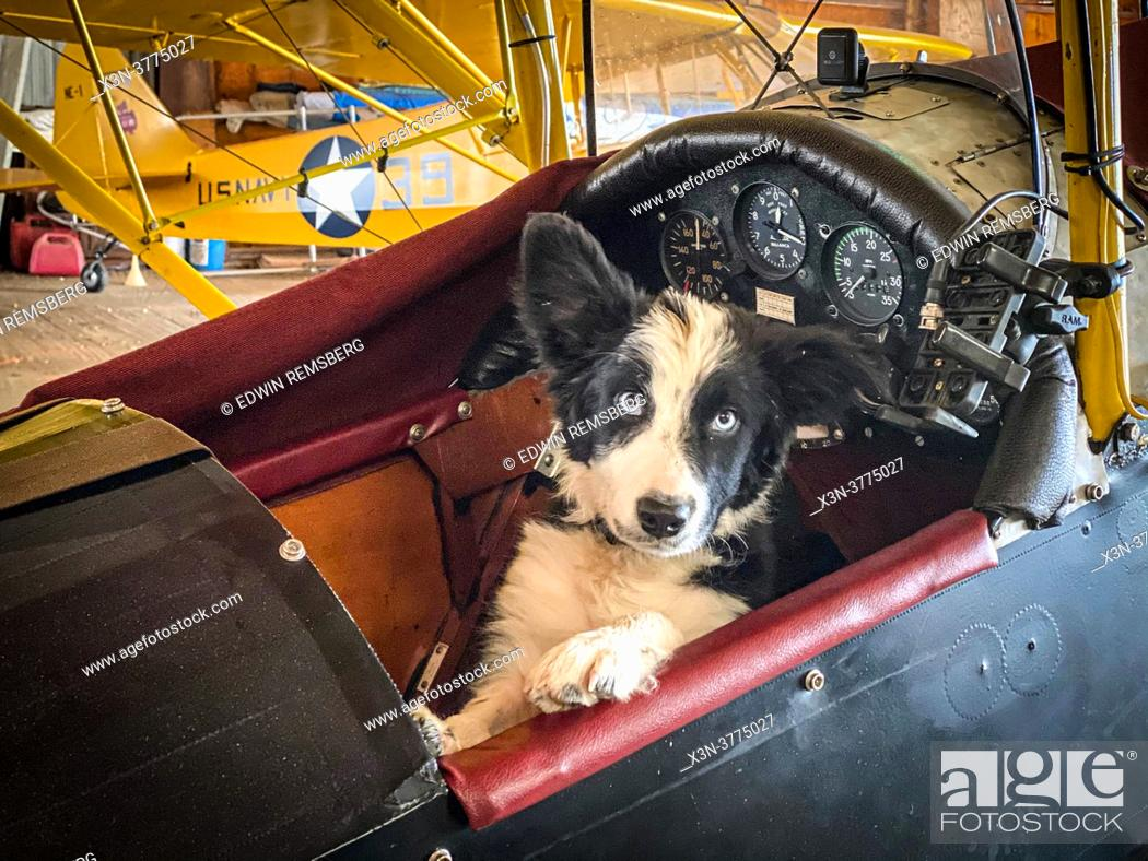 Stock Photo: Border Collie puppy sitting in front of open cock-pit plane, Massey, MD.