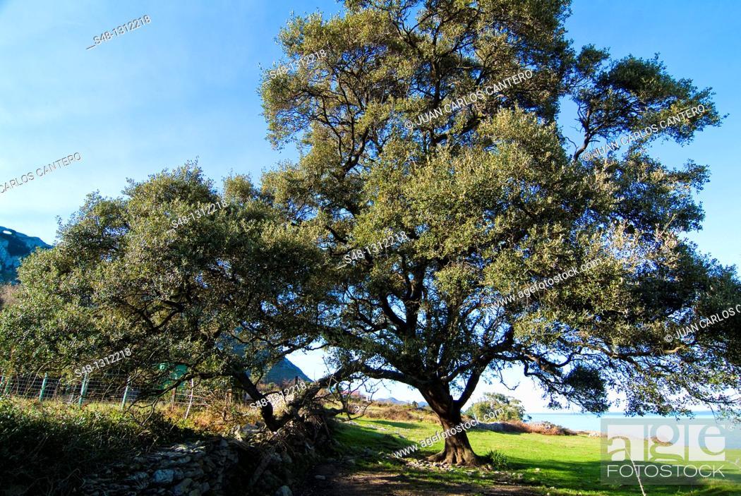 Imagen: Holm oak, Sonabia Coast, Cantabria, Spain.