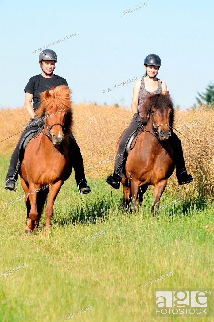 Stock Photo: Hacking with Icelandic Horses.