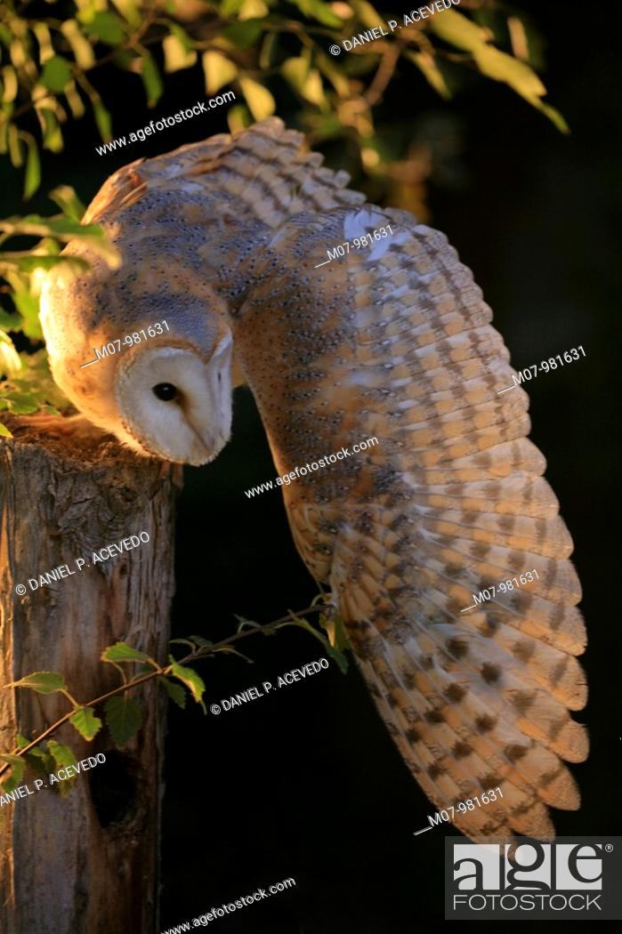 Stock Photo: Barn owl preying at night from a pole (Tyto alba).