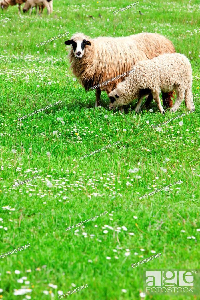 Stock Photo: sheep with a lamb, Bosnia and Hercegovina.