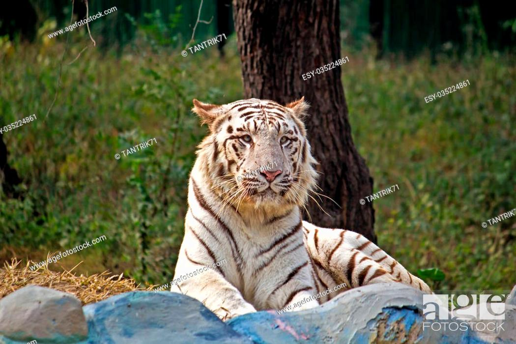 Stock Photo: White bengal tiger in New Delhi zoo.