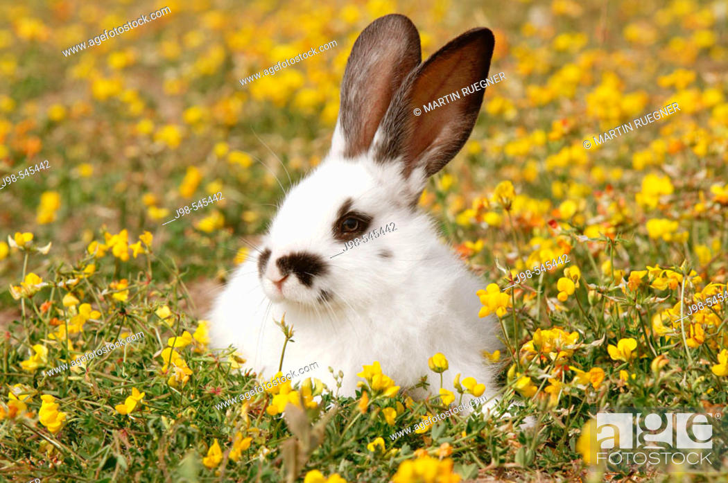 Stock Photo: Young rabbit (domestic animal) in flower meadow. Bavaria, Germany, Europe.