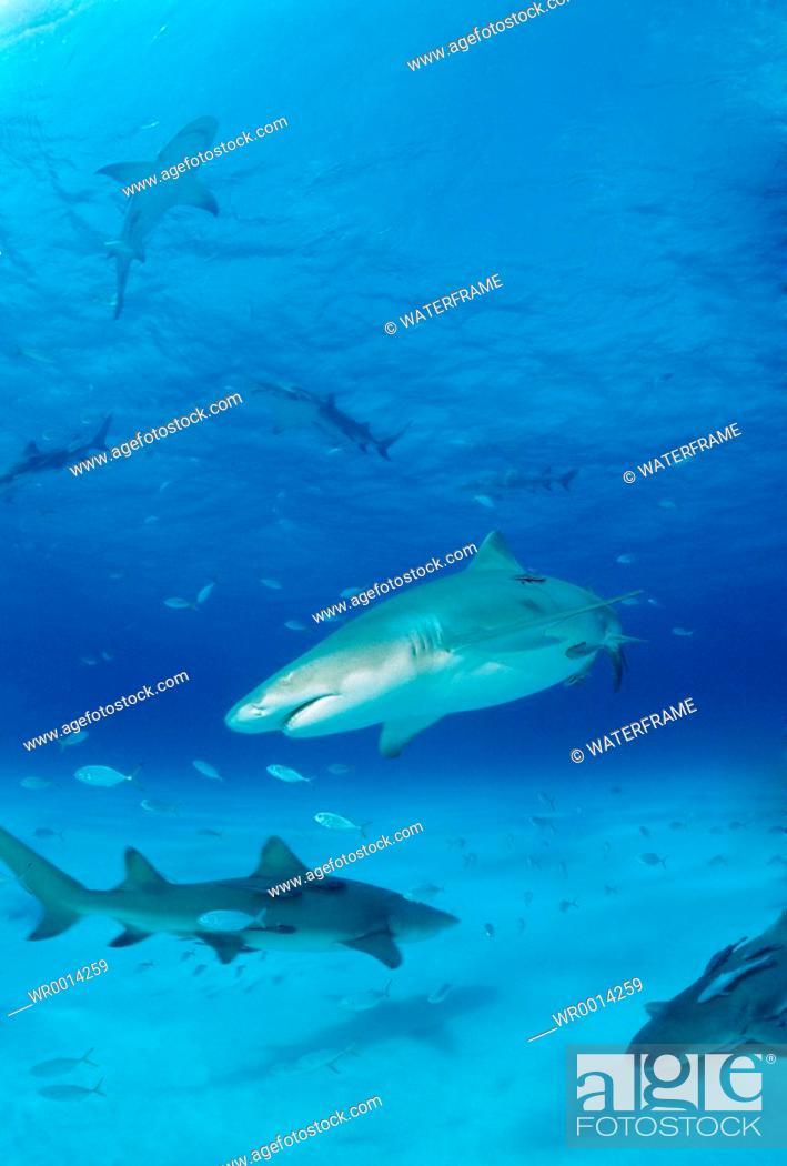 Stock Photo: Lemon Sharks, Negaprion brevirostris, Atlantic, Caribbean Sea, Bahamas.