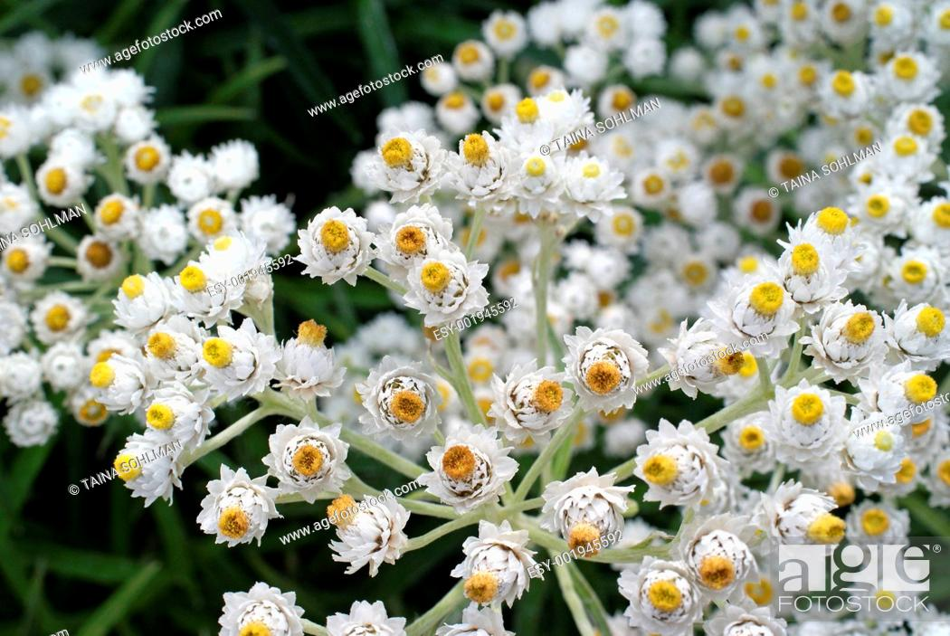 Stock Photo: White Achillea The Pearl Flowers Macro.