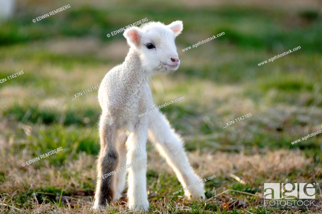 Stock Photo: Lamb.