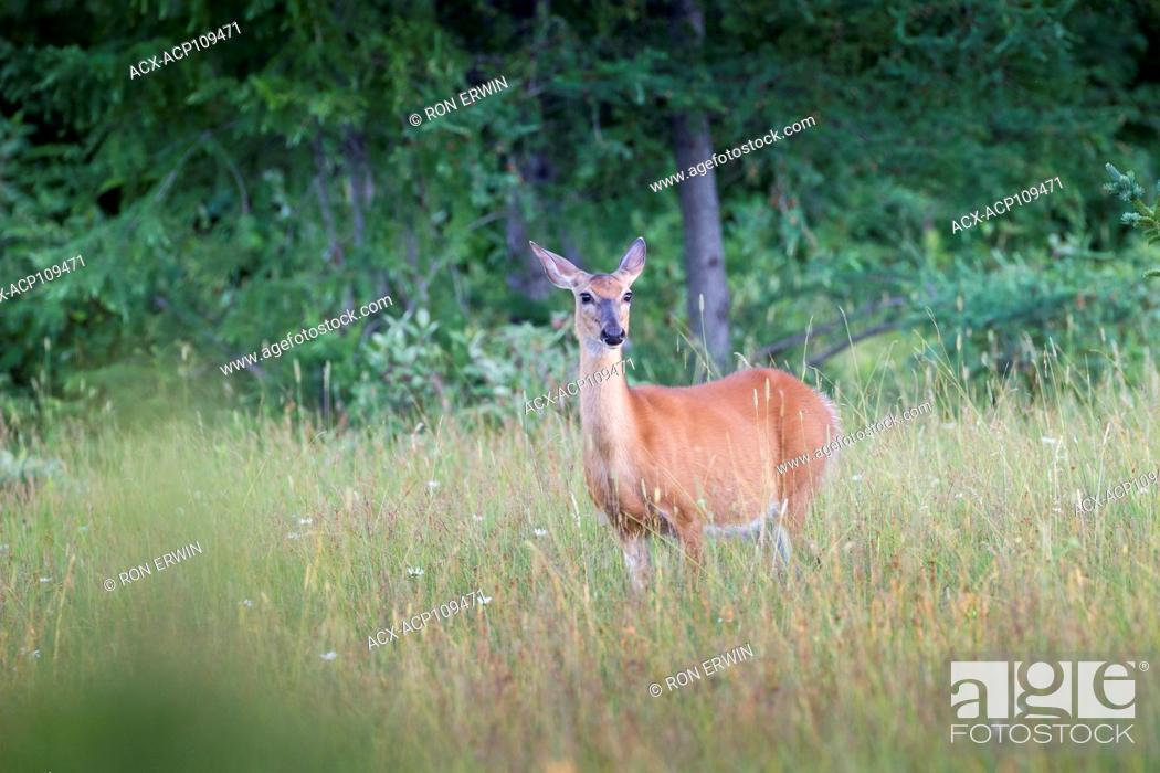 Stock Photo: White-tailed Deer (Odocoileus virginianus), Manitoulin Island, Ontario, Canada.