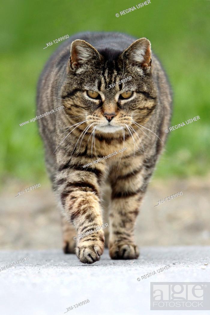Stock Photo: Domestic Cat, walking across road.