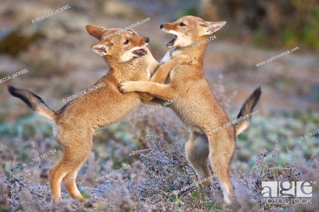 Stock Photo: Ethiopian wolf pups wrestling.