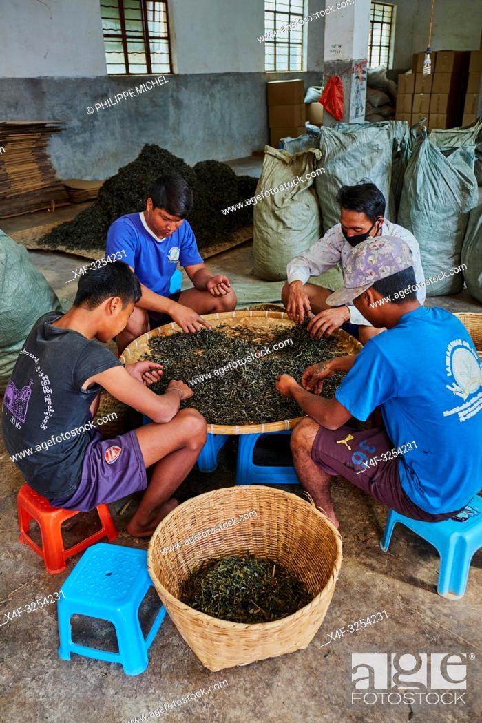 Stock Photo: China, Yunnan, Xishuangbanna district, classify and drying tea of Pu'er tea.