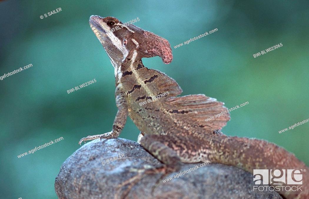 Stock Photo: common basilisk Basiliscus basiliscus, Costa Rica.