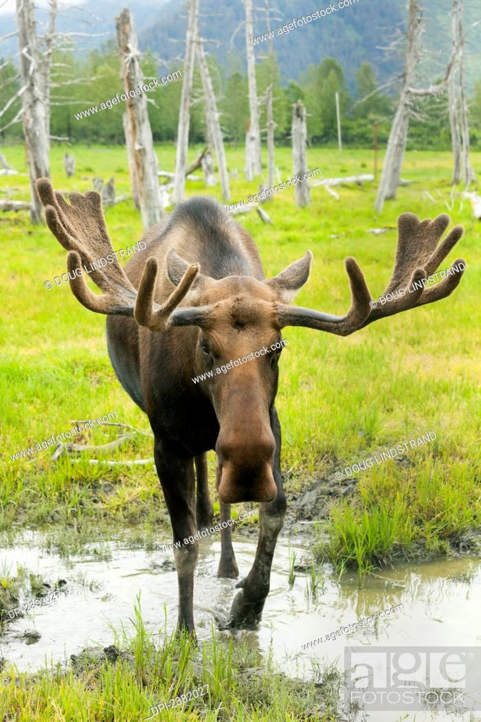 Stock Photo: An elk standing in a puddle of water on the edge of a forest.