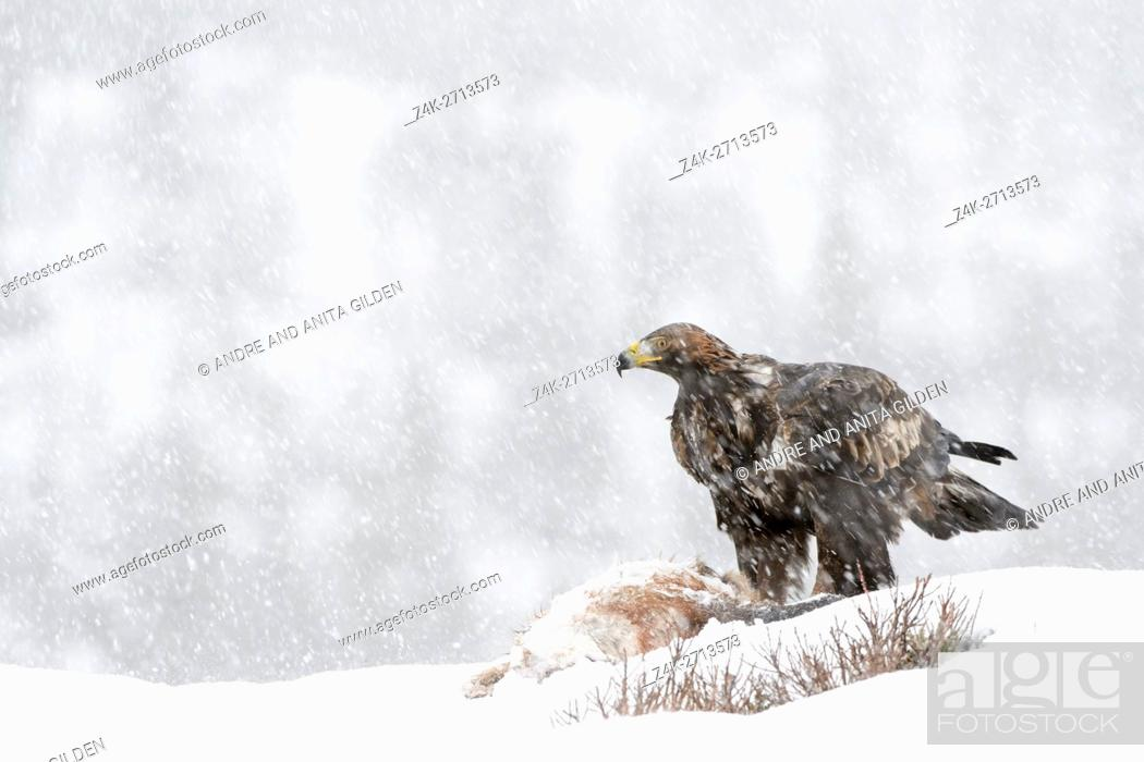 Stock Photo: Golden Eagle (Aquila chrysaetos) adult during blizzard, feeding, scavenging at carcass in snow, Lauvsness, Flatanger, Norway.