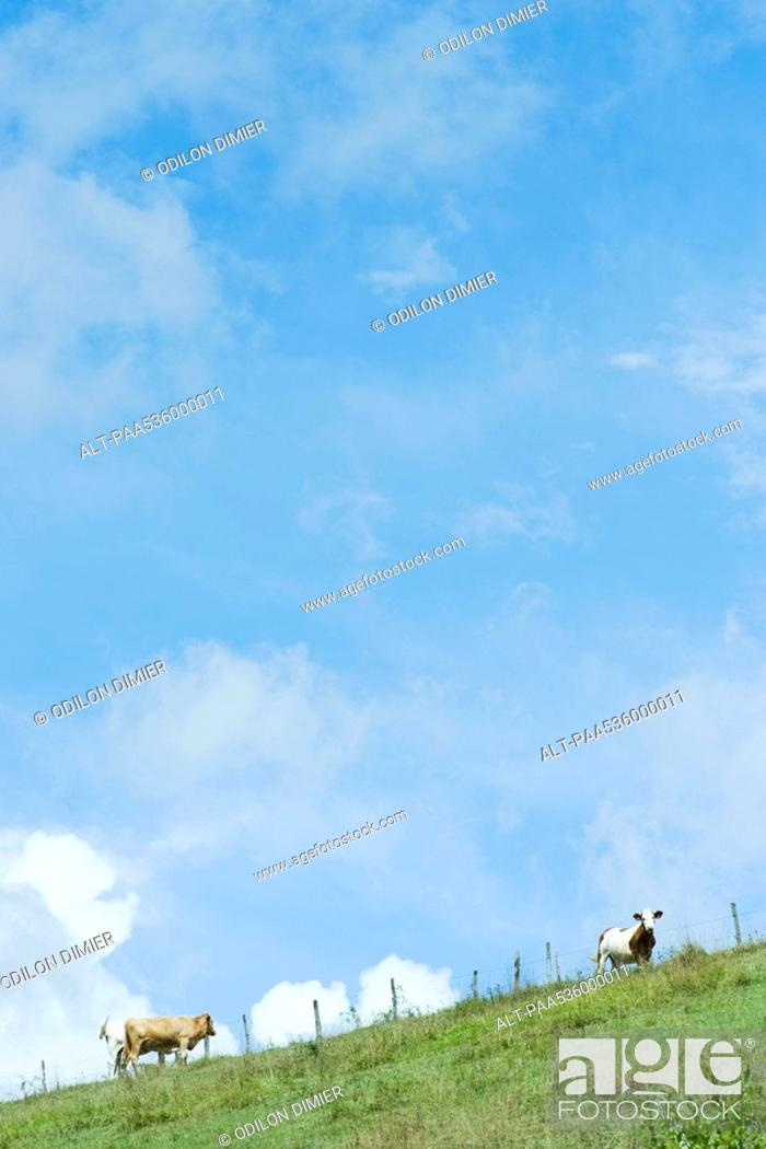 Stock Photo: Cows on a hill under cloudy blue sky.
