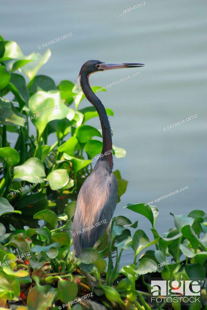 Stock Photo: Little Blue Heron (Egretta caerulea). La Venta Park, Villahermosa. Tabasco, Mexico.