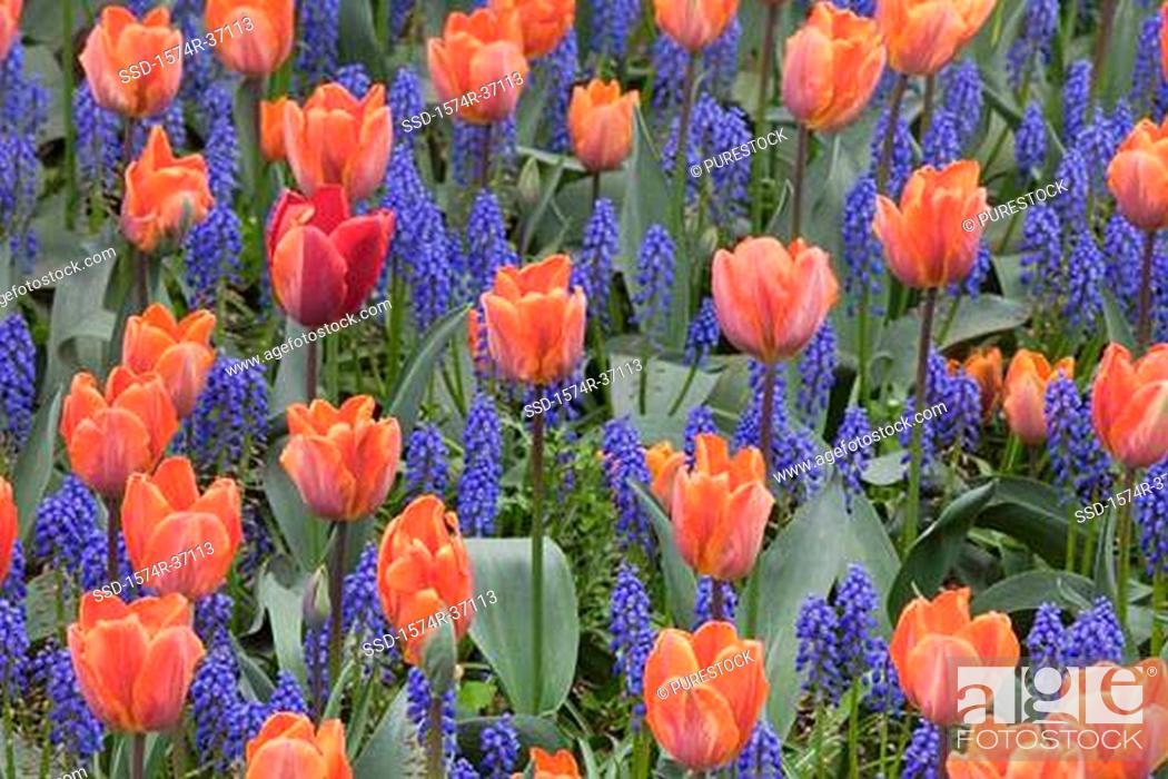 Stock Photo: Tulips in Garden.