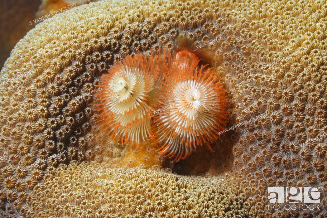 Stock Photo: Christmas tree worm ( Spirobranchus giganteus ) in the Caribbean Sea around Bonaire.
