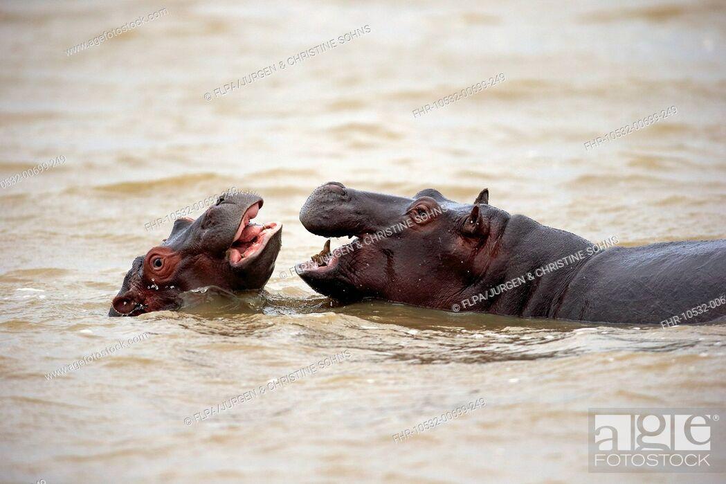 Stock Photo: Hippopotamus (Hippopotamus amphibius capensis) two juveniles, playfighting in water, Saint Lucia Estuary, iSimangaliso Wetland Park (Greater St.