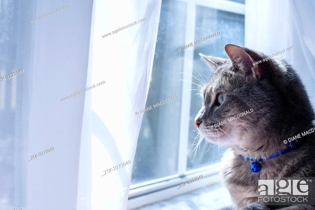 Imagen: A gray tabby cat with a blue collar and bell looking out a window.