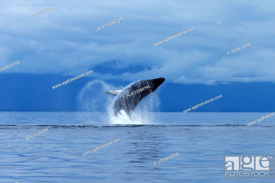 Stock Photo: A Humpback whale leaps from the calm waters of the Inside Passage, Chatham Strait, Southeast Alaska.