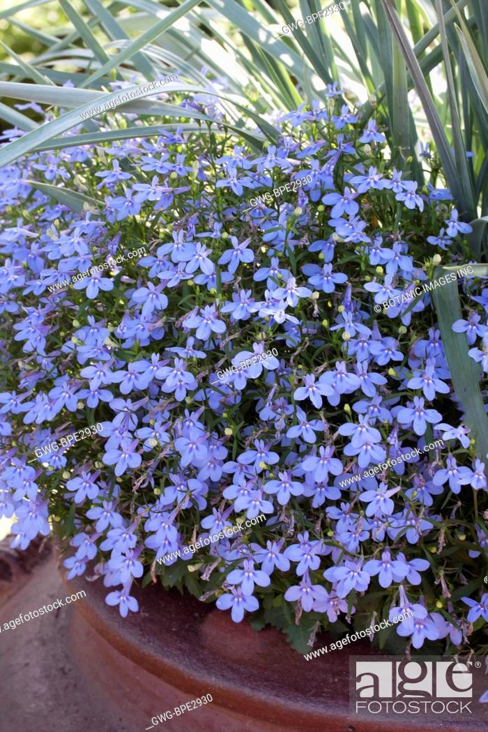 Lobelia Erinus Techno Blue Stock Photo Picture And Rights