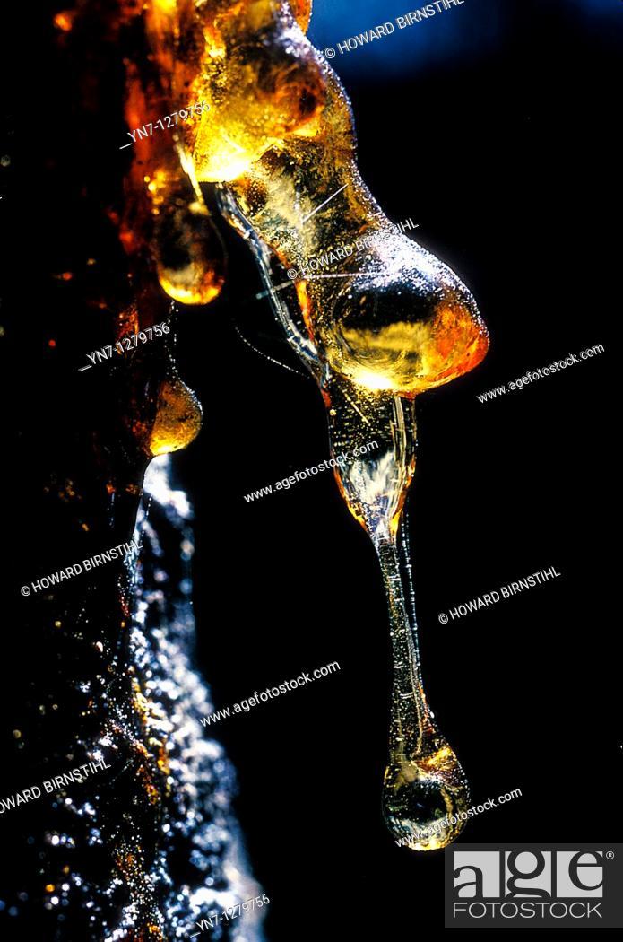 Stock Photo: Wattle sap dribble.
