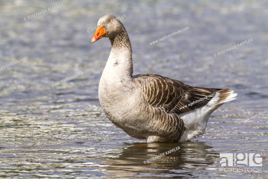 Stock Photo: Domestic goose on the river Blies near Homburg.