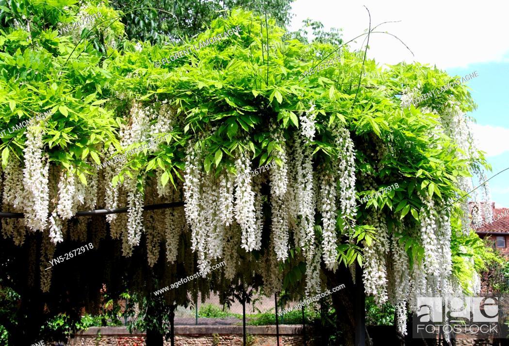 Stock Photo: Pergola covered of white wisterias (wisteria floribunda alba).