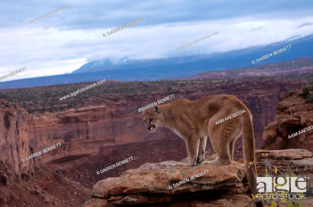 Stock Photo: Mountain Lion (Felis concolor) Moab Area - Utah.