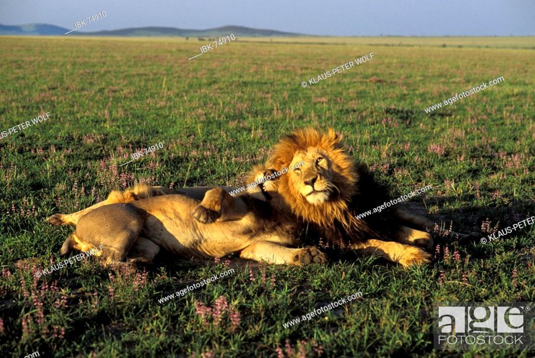 Stock Photo: Three Lions in the morning light ( Panthera leo ) - Masai Mara - Kenya.