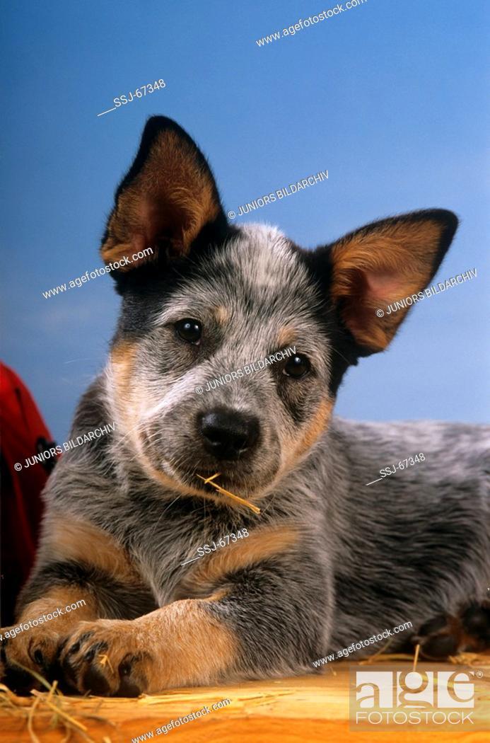 Stock Photo: Australian Cattle dog puppy.