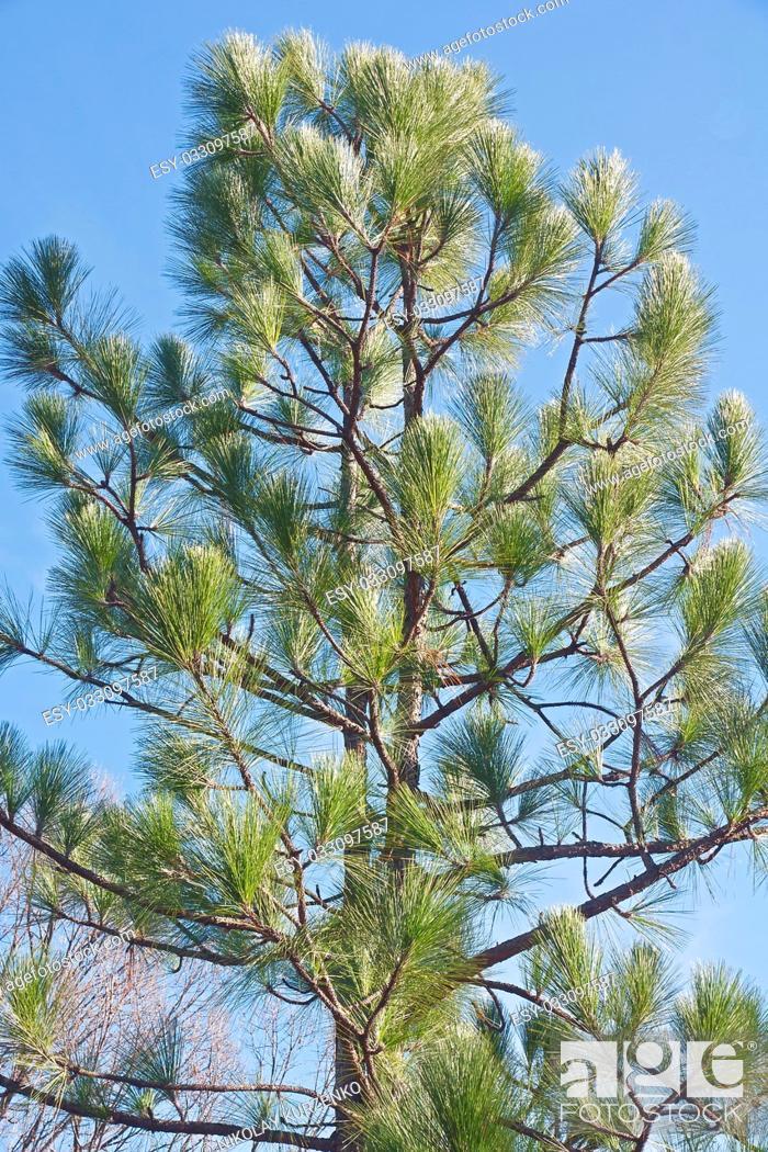 Imagen: Longleaf pine (Pinus palustris). Called Southern Yellow Pine also.