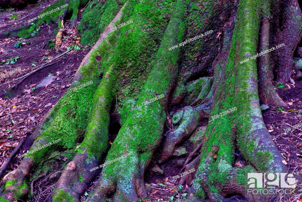 Imagen: spain, canary islands, la palma, los tilos : giant laurel trunk, moss and leaves.
