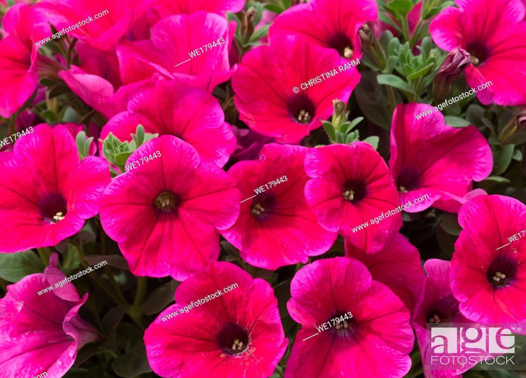 Stock Photo: Pink petunia flowers closeup full frame. Spring garden series, Mallorca, Spain.