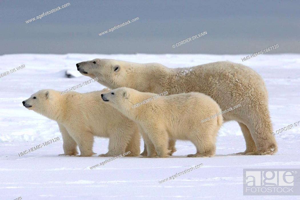 Stock Photo: United States, Alaska, Arctic National Wildlife Refuge, Kaktovik, polar bear (Ursus maritimus), female and two young of the year.