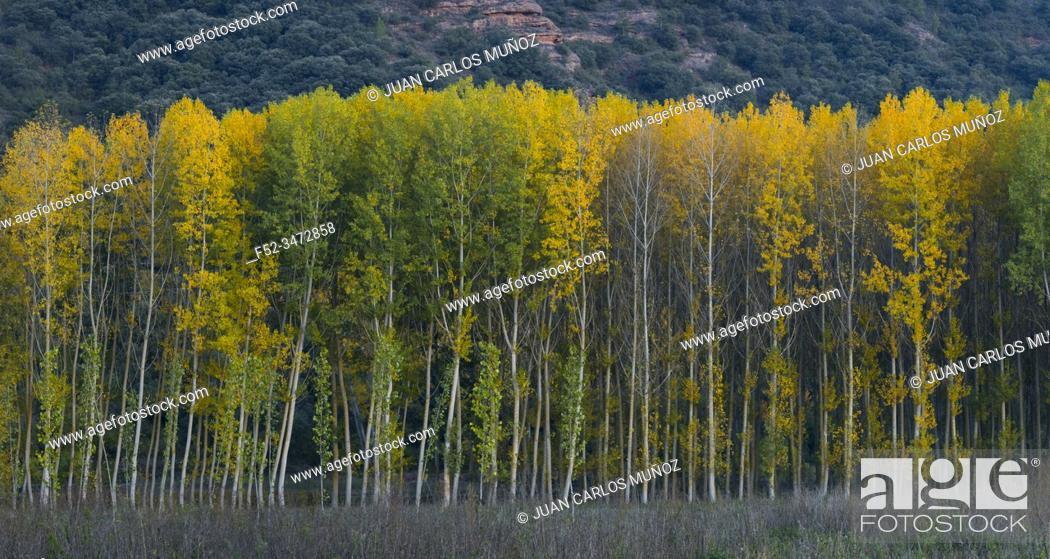 Stock Photo: Poplar plantation with fall colors, Bobadilla, La Rioja, Spain, Europe.