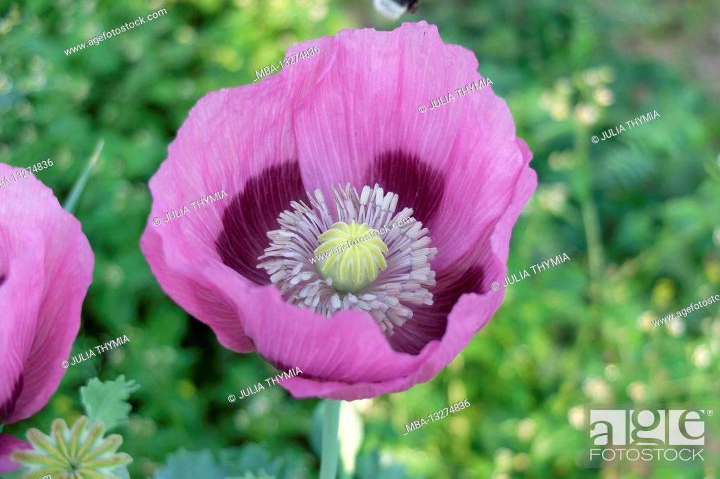 Imagen: Opium poppy (Papaver somniferum), pink flower.