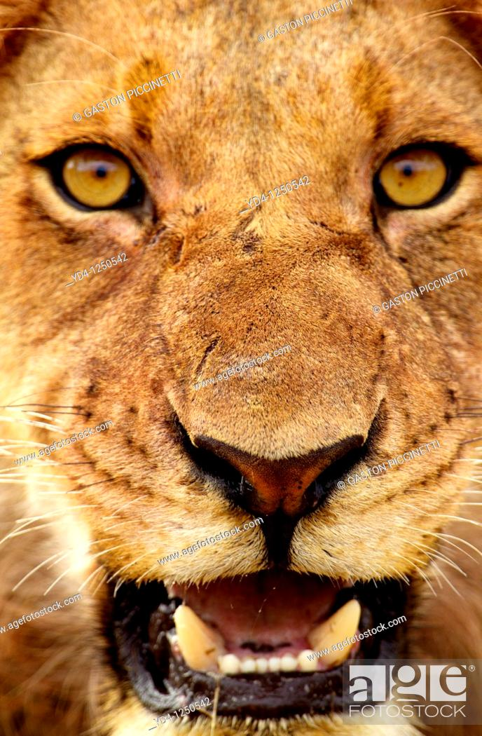 Stock Photo: African lion Panthera leo - Male, Kruger National Park, South Africa.