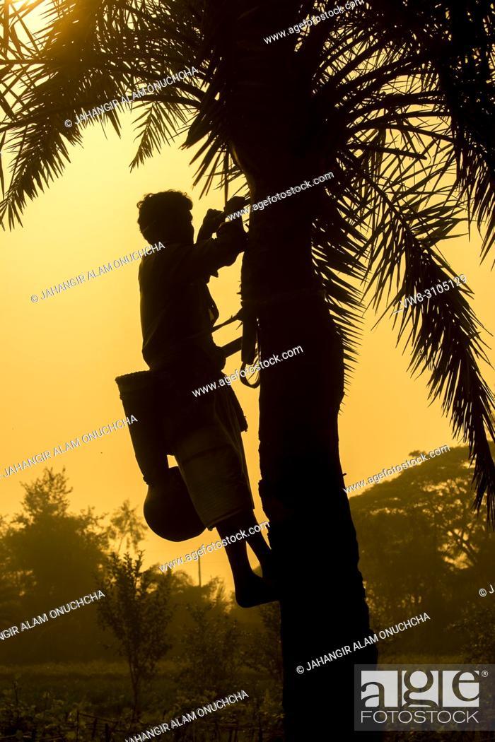 Stock Photo: Man climbing Date Palms or Khejur (Phoenix sylvestris) tree for toddy, Khulna Division, Bangladesh.