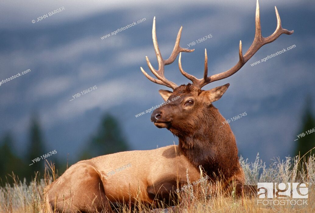 Stock Photo: ROCKY MOUNTAIN ELK Cervus canadensis nelsonii bull in peak shape for fall, Yellowstone National Park, Wyoming, USA.